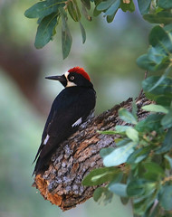 Acorn Woodpecker (4Durt) Tags: bird mariposa acornwoodpecker avianexcellence photodomino867