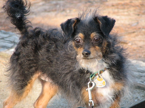 Mdoflpdlfkd Yorkie Chihuahua Mix