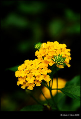 Lantana (Ashok A Menon) Tags: flower yellow nikon d200 ashok watcher chengannur 18135mm