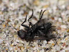 Flipped (rianklong) Tags: california ca macro beach insect fly sand state upsidedown malibu elmatador dcr250 raynox telemacro raynoxdcr250 canons3 elmatadorstatebeach