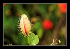 Futur Poppy (fs999) Tags: flower macro fleur pentax sensational excellence aficionados tamron90 digitalcameraclub flowerscolors sp90 5photosaday flowerotica fantasticflower masterphotos avision k10d pentaxk10d impressedbeauty greatflowermacros flickrphotoaward flowerwatcher flickrmacroaward macromarvels ashotadayorso justpentax goldstaraward excapturemacro tamronsp90mmf28dimacro macroflowerlovers natureselegantshots spiritofphotography topqualityimage flickrlovers awesomeblossoms topqualityimageonly colouratart blueribbonbanned
