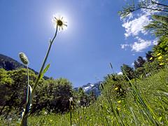Parasol natural (Paco CT) Tags: sun mountain flower sol landscape spain flor paisaje daisy margarita catalunya montaña 2008 vegetal floe valdaran montardo montarto ltytr2 ltytr1 ltytr3 pacoct