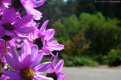 Happy Weekend (Raksh1tha) Tags: sanfrancisco flower violet botanicalgarden mikelee happyweekend kuttibaluphotography