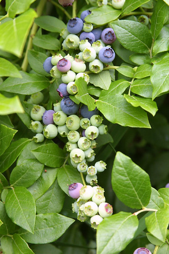 Blueberry Bounty