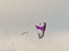 bird and kite (Focal Intent) Tags: kite bird leaf seagull kitesurfing hasselblad aptus leafaptus17