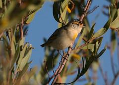 Red-browed Pardalote (Greg Miles) Tags: australia westernaustralia tanamitrack wildlifeofaustralia pardalotusrubricatus tanamidesert redbrowedpardalote