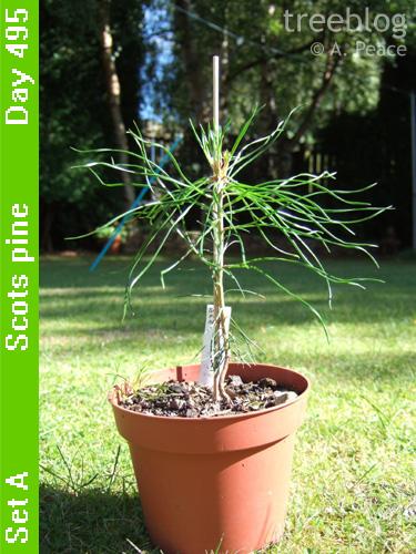 Scots pine Alpha
