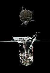 (Wan Naqie) Tags: pet green fall water animal photography asia small tortoise drop falling malaysia splash uitm kurakura jatuh fssr