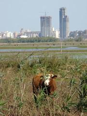 Aquella solitaria vaca