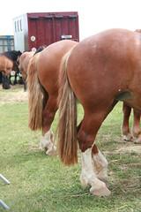 Fte de la terre - Villemer (77) (Gypsy Cob) Tags: tail drafthorse trait heavyhorse trekpaard chevaldetrait zugpferd villemer cobnormand