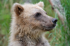 Young Blonde Bear (Scott Michaels) Tags: bear usa nature alaska nationalpark nikon wildlife coastal ursus brownbear salmonrun ursusarctos brooksfalls katmai brooksriver d40 katmainationalpark specanimal nikkor70300vr nikon70300mmvr goldstaraward