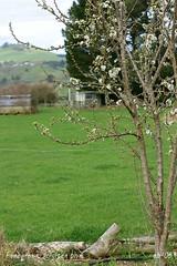 schulten plum blooms