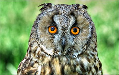 European Eagle Owl (Edgar Barany) Tags: nikon europe european czech eagle owl czechrepublic bubo republicacheca nikond200 barany ceskarepublica damniwishidtakenthat edgarbarany