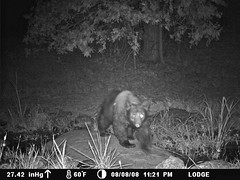 black bear stare at 11:20pm