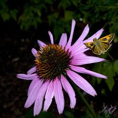 Echinacea Flower & Passing Butterfly (FBrock) Tags: flowers flower canon butterfly huntsville echinacea alabama brock 5d huntsvillebotanicalgarden bej huntsvillealabama top2020 citrit platinumheartaward top20flowerswithbugs brockstudios