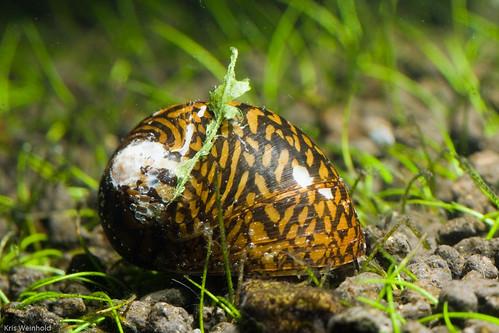 Tiger Snail