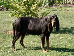 Black And Tan Coonhound by Shames Privacy, on Flickr