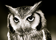 Classic Scops (left-hand) Tags: portrait bw baby bird animal sepia eyes owl iq birdsofprey tonal firtree birdwatcher babyowl blueribbonwinner scopsowl scops animaladdiction anawesomeshot naturewatcher theperfectphotographer goldstaraward ilovemypics firtreefalconry