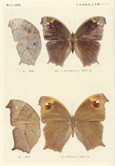 papillon 21