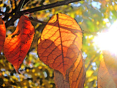Autumn Leaves In Detail (LostMyHeadache: Absolutely Free *) Tags: 2008 davidsmith lostmyheadache macro detail zoom close up closeup zoomin lines light shadow blur focus selective calgary alberta canada canadian outdoors outside nature natural beauty beautiful autumn fall season seasons change changing red yellow green blue black white sun sunlight shine ray sunshine sunray leaf leaves flora foliage tree branch branches trees afternoon colour color colours colors veins veiny vein bright glorious