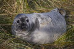 pup2 (Janey M) Tags: seals donnanook greysealpup
