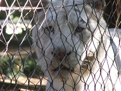 White Lion in Siegfried & Roy's Secret Garden and Dolphin Habitat at the Mirage Las Vegas