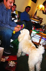 """""""Latte's Christmas Presents from Lydia!"""" (Madonovan) Tags: christmas pets poodles dogs holidays presents latte christmaseve"""