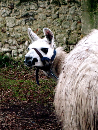 A white llama, kneeling with body facing away from the camera. The llama is turning to look back at the camera with a slightly bemused expression