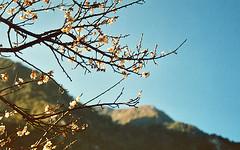 (MoorPfeffer) Tags: park blossom taiwan national gorge  formosa  taroko hualien          taiwn