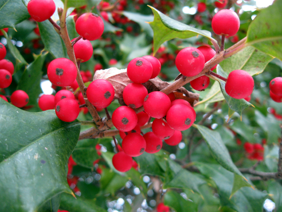Holly Berries (Click to enlarge)