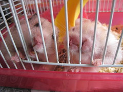 Picture 018 ([bakaWOOFY]) Tags: hamsters