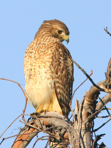 Red-shouldered Hawk 20090103