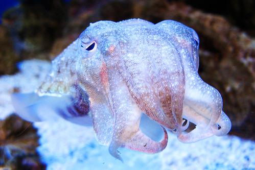 Cuttlefish are my faaavorite!