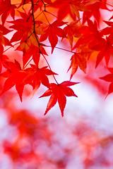 (yocca) Tags: autumn red topf25 digital canon wow temple dof bokeh 100v10f momiji   2008 15faves  autumntints  hbw 40d japnesemaple dec2008 ehbd 2008archive