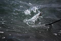 falsa partenza (2) - pesca (Davide Ponti) Tags: sea italy water nikon mare azzurro pesca freddo lazio pesce 200mm d60 pescatori lenza davideponticelli