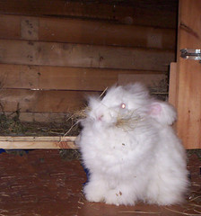 getting the nest ready (ixchelbunny) Tags: bunnies english rabbits angora ixchel