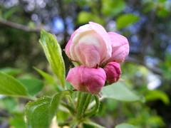 Macieira (by Loca....)