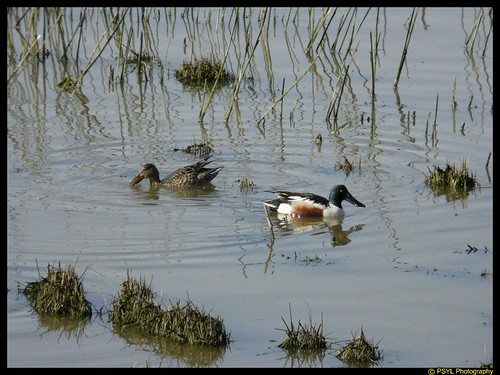 Northern Shovelers (Anas clypeata)