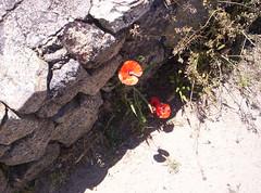 Papaveri (Grabby Walls) Tags: sardegna travel flowers sky italy mountain island italia sardinia cielo fiori viaggi viaggio papaveri isola nuoro viaggiare monteortobene grabbywalls