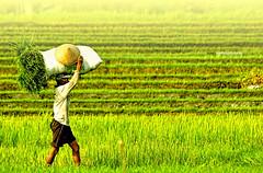Carrying The Paddy (novriwahyuperdana) Tags: bali indonesia southeastasia farmer badung canonef70300mmisusm canoneos50d tegallantang balinesefarmer munggu pererenan