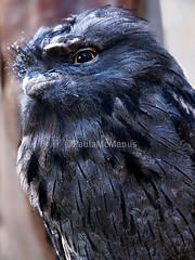 Tawny Frogmouth (Paula McManus) Tags: bird wildlife adelaide gorge mopoke tawnyfrogmouth frogmouth wildlifepark podargusstrigoides australianbird australiannativebird adelaidehills gorgewildlifepark paulamcmanus olympuspenepl1