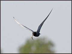 Zwarte stern met visje (NLHank) Tags: holland bird nature netherlands dutch birds canon eos wildlife nederland vogels natuur 7d stern 70200 vogel zwarte natuurmonumenten favoriet wieden beulaker eos7d
