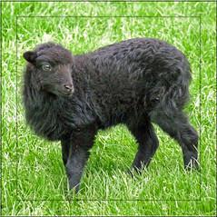 A black mini sheep (Cajaflez) Tags: black klein sheep little mini zwart schaap ouessantsheep natureselegantshots 100commentgroup saariysqualitypictures ringexcellence