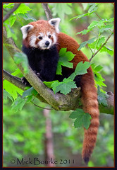 Red Panda at Fota wildlife park Cork Ireland. (Mick Bourke.) Tags: china nepal ireland pakistan red india tree firefox panda burma cork redpanda laos racoon himalayas fota fotawildlifepark canon60d canon7020028is