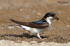 Common House Martin, Delichon urbicum. (Nigel Blake, 2 million views Thankyou!) Tags: summer house building bird history nature birds canon photography eos for is martin mud natural nest wildlife migratory blake common nigel ornithology collecting migrant hirundinidae hirundine urbicum delichon 600mmf4 1dsmkiii slbnesting