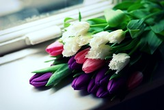 White with pink and purple! (GirLy  GirL) Tags: pink flowers white macro purple tulips tulip