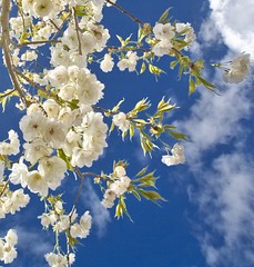 Blossom (wentloog) Tags: uk flowers sky cloud flower tree southwales wales canon eos interestingness spring gallery blossom britain cardiff wideangle explore 5d wfc naturesfinest aspherical 14mm canoneos5d tamron14mm wentloog welshflickrcymru stevegarrington tamron14mmf28 world100f thepoweroftheflower