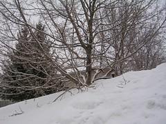 buried tree
