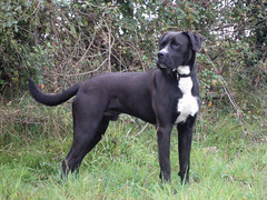 boxer lab cross (Paddy the biker) Tags: peat perdisatt