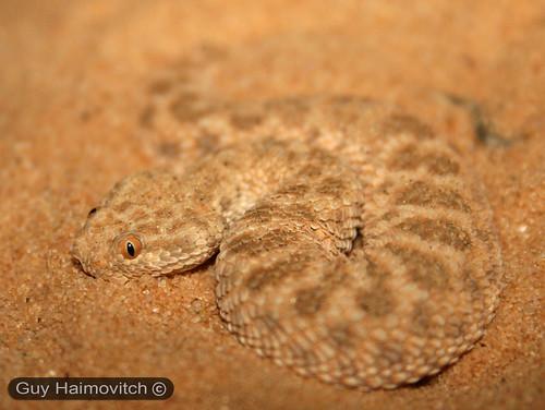 לוכד נחשים - (Cerastes Vipera) עכן קטן